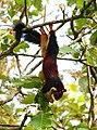 Malabar giant squirrel by Joseph Lazer.jpg