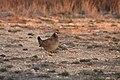 Male Lesser Prairie Chicken, Yoakum County by Trisha Williams (25090376596).jpg