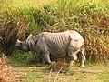 Mammal Rhino Kaziranga IMG 4676 07.jpg