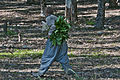 Man collecting leaves of spotted arum.jpg