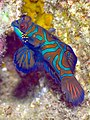 Mandarinfish (6851479478).jpg