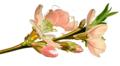Mandelblüte.png