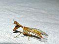 Mantidfly (Mantispa syriaca) (8332996720).jpg