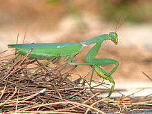 Adult female Sphodromantis viridis