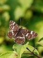 Map Butterfly (35841536066).jpg