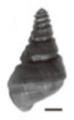 Margarya mansuyi shell 2.png