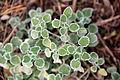 Marrubium vulgare (24918970066).jpg