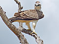 Martial eagle (Polemaetus bellicosus) juvenile (13816423355).jpg