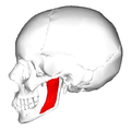 Masseter muscle - lateral view - superficial part.png