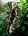 Mating Swallowtails. Papilio ophidicephalus the Emperor Swallowtail from Africa - Flickr - gailhampshire.jpg