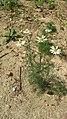 Matricaria chamomilla plant (04).jpg