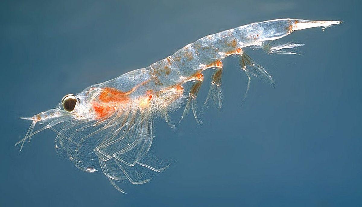 krill respuestas