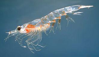 Krill - Northern krill (Meganyctiphanes norvegica)