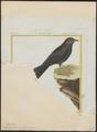 Melanocorypha tartarica - 1700-1880 - Print - Iconographia Zoologica - Special Collections University of Amsterdam - UBA01 IZ16100361.tif