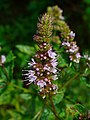 Mentha spicata var. viridis 002.JPG