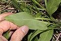 Mertensia oblongifolia 9513.JPG