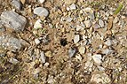 Messor barbarus nest Greece.jpg