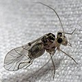Metylophorus purus 1.jpg