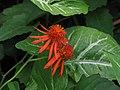 Mexican Flame Vine 9435.jpg