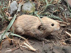 Microtus pennsylvanicus - Pacific Grove Museum of Natural History - DSC06654.JPG
