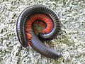 Millipede mating.JPG