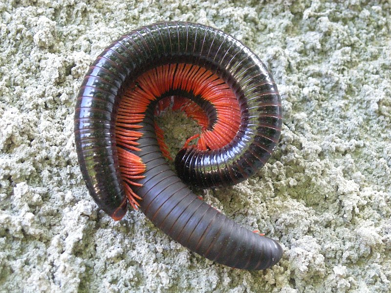 File:Millipede mating.JPG