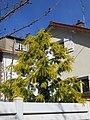Mimosa de la coulée verte de Colombes D2015-03-27.jpg