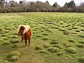 Miniature pony in a field next to Ashurst Hospital, New Forest - geograph.org.uk - 148199.jpg