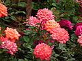 Miniature rose from Lalbagh Flowershow - August 2012 4745.JPG