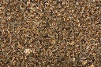 Common bent-wing bat - Colony of common bent-wing bats hanging in a cluster