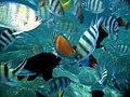 Mix of beautiful fish near Kampong Lalang, Tioman - panoramio.jpg