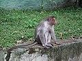 Monkey from Bannerghatta National Park 8559.JPG
