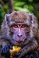 Monyet Penghuni Pulau Kembang.jpg