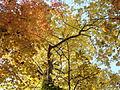 Morris Arboretum Carya cordiformis.JPG