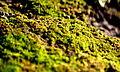 Moss (1445830542).jpg