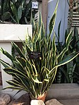 Mother-in-law tongue plant.jpg