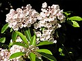 Mountain Laurel 1r.jpg
