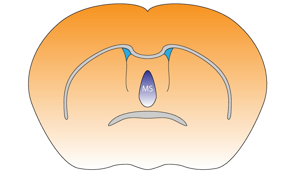 Medial septal nucleus - Wikipedia