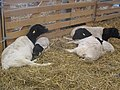 Moutons de Somalie.jpg