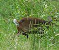 Muntiacus reevesi. Muntjac Deer - Flickr - gailhampshire.jpg