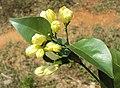 Murraya paniculata 06.JPG