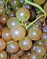 Muscat grapes - Massachusetts.jpg