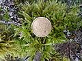 Muschio con moneta.jpg