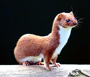 Least weasel - Least weasel at the British Wildlife Centre, Surrey, England