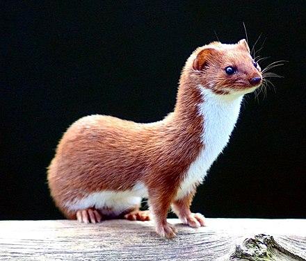 [Image: 440px-Mustela_nivalis_-British_Wildlife_Centre-4.jpg]