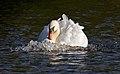 Mute Swan at speed (6243013165).jpg