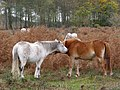 Mutually grooming ponies at Turf Hill, New Forest - geograph.org.uk - 276995.jpg