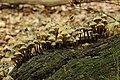 Mycena inclinata (43364780750).jpg