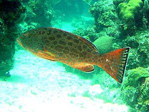 Yellowfin grouper - Image: Mycteroperca venenosa
