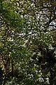 Myddelton House garden, Enfield, London ~ white magnolia 02.jpg